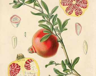 Vintage Pomegranate Fruit Print. Botanical Educational Chart Diagram from Kohler's Medicinal Botanical Guide - B004P