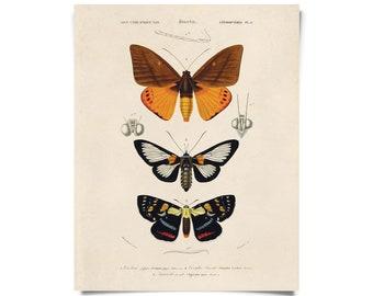 Vintage Nature d'Orbigny Moth Print w/ optional frame