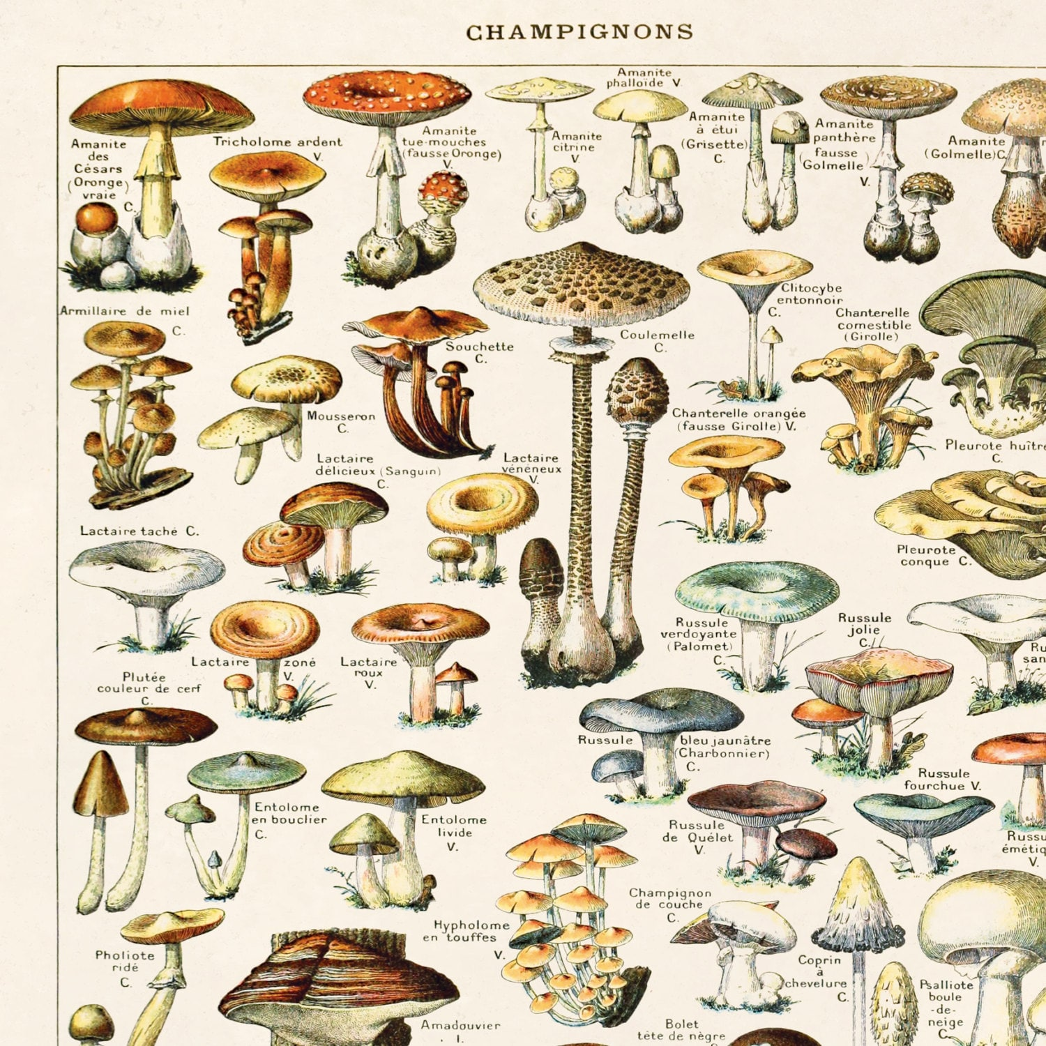 vintage french mushroom print by millot  botanical diagram antique print-  variety of mushrooms and fungi educational chart diagram - b032p