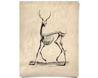 Vintage Natural History Deer Skeleton Print w/ frame option