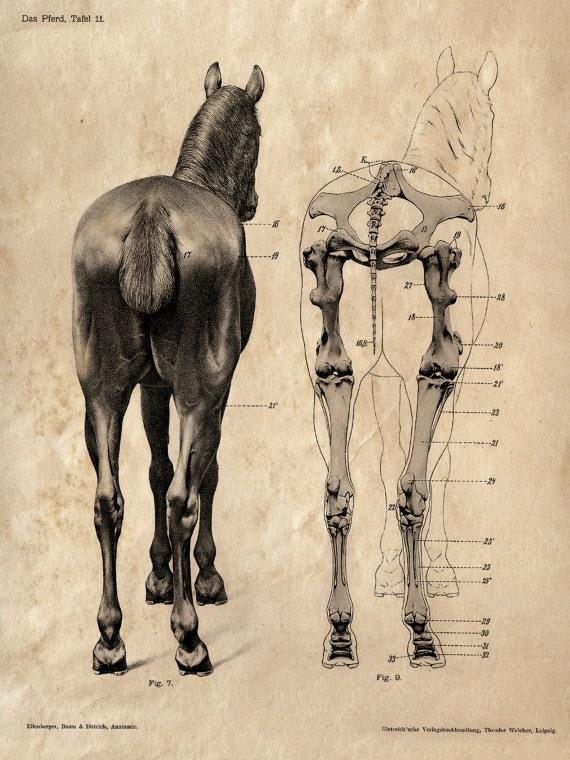 Pferd Anatomie Skelett Drucke zwei passende Vintage | Etsy