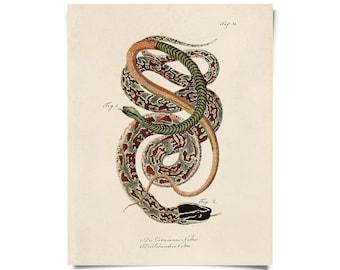 Vintage French Snake Zoology 2 Print w/ optional frame