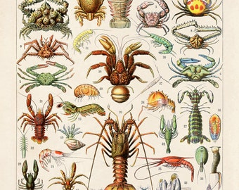 Crustaceans Diagram Reproduction Print. Le Petit Larousse. Ocean Educational Chart by Adolphe Millot Lobsters Crabs Sea Life. CP262