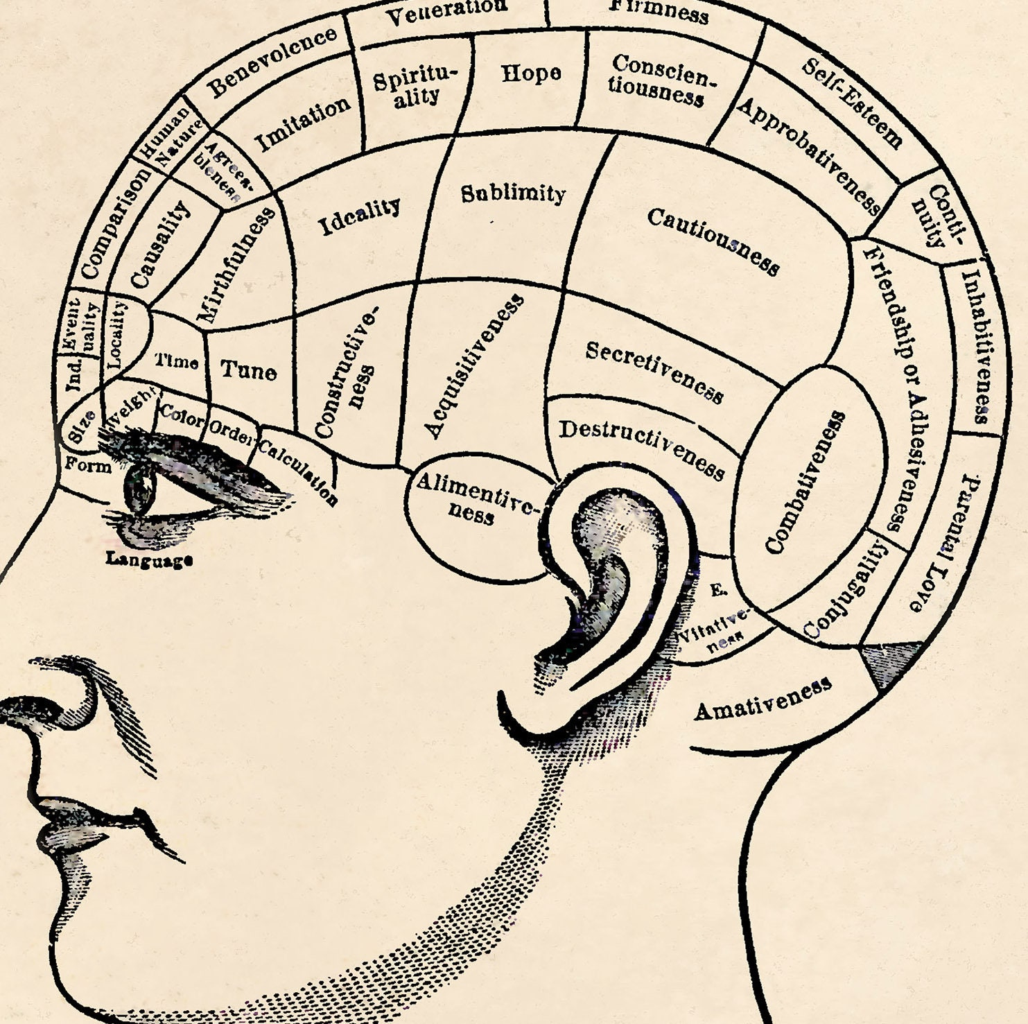 Vintage Phrenology Print  The Brain  Psychology  Science