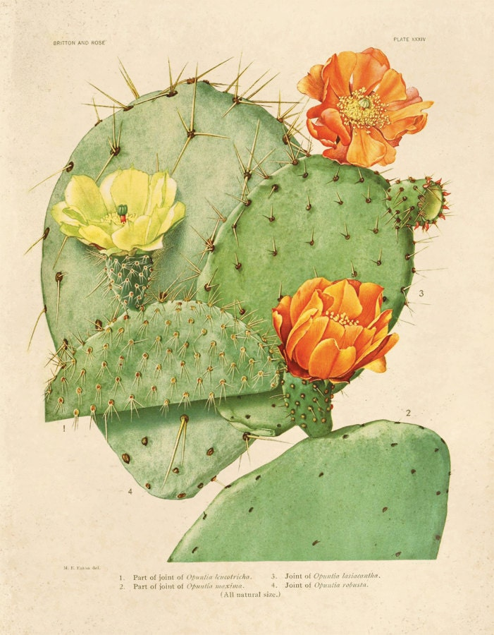 Vintage Cactus Blossom Print Plate 24  Prickly Pear Educational Vintage Chart Diagram Cactus