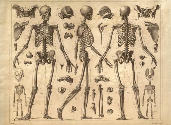 Skelett Anatomie Diagramm menschlichen Körper Vintage Print | Etsy