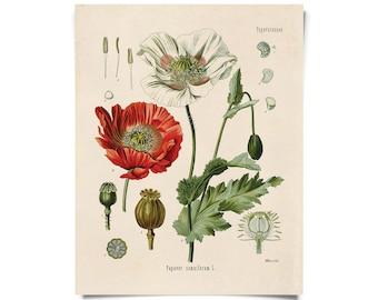 Vintage Botanical Opium Poppy Flower Print w/ optional frame