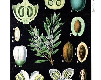 Vintage Botanical Olive Tree Poster Print Pull Down Chart Reproduction. Vintage Science Plate Educational Botany Diagram Poster - CP220