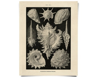 Vintage Haeckel Sea Snail Shell Murex Print w/ optional frame