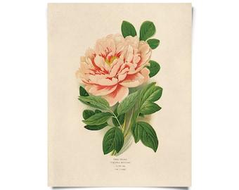 Vintage Botanical Peony Flower Print w/ optional frame