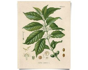 Vintage Botanical Coffee Plant Print w/ optional frame