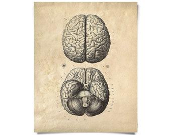 Vintage Anatomy Brains Diagram Print