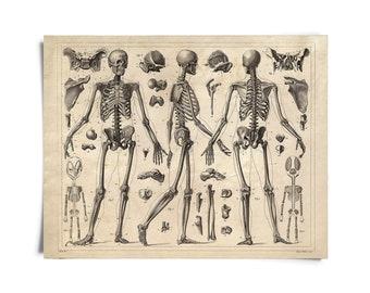 Vintage Anatomy Skeleton Diagram Print