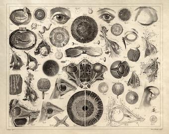 Human Anatomy / Medicine