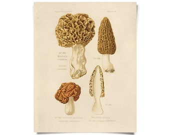 Vintage Botanical Mushroom morels Print w/ optional frame