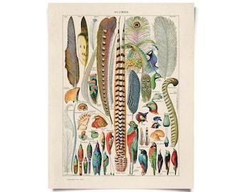 Vintage Nature Bird Feather Plumes Print w/ optional frame