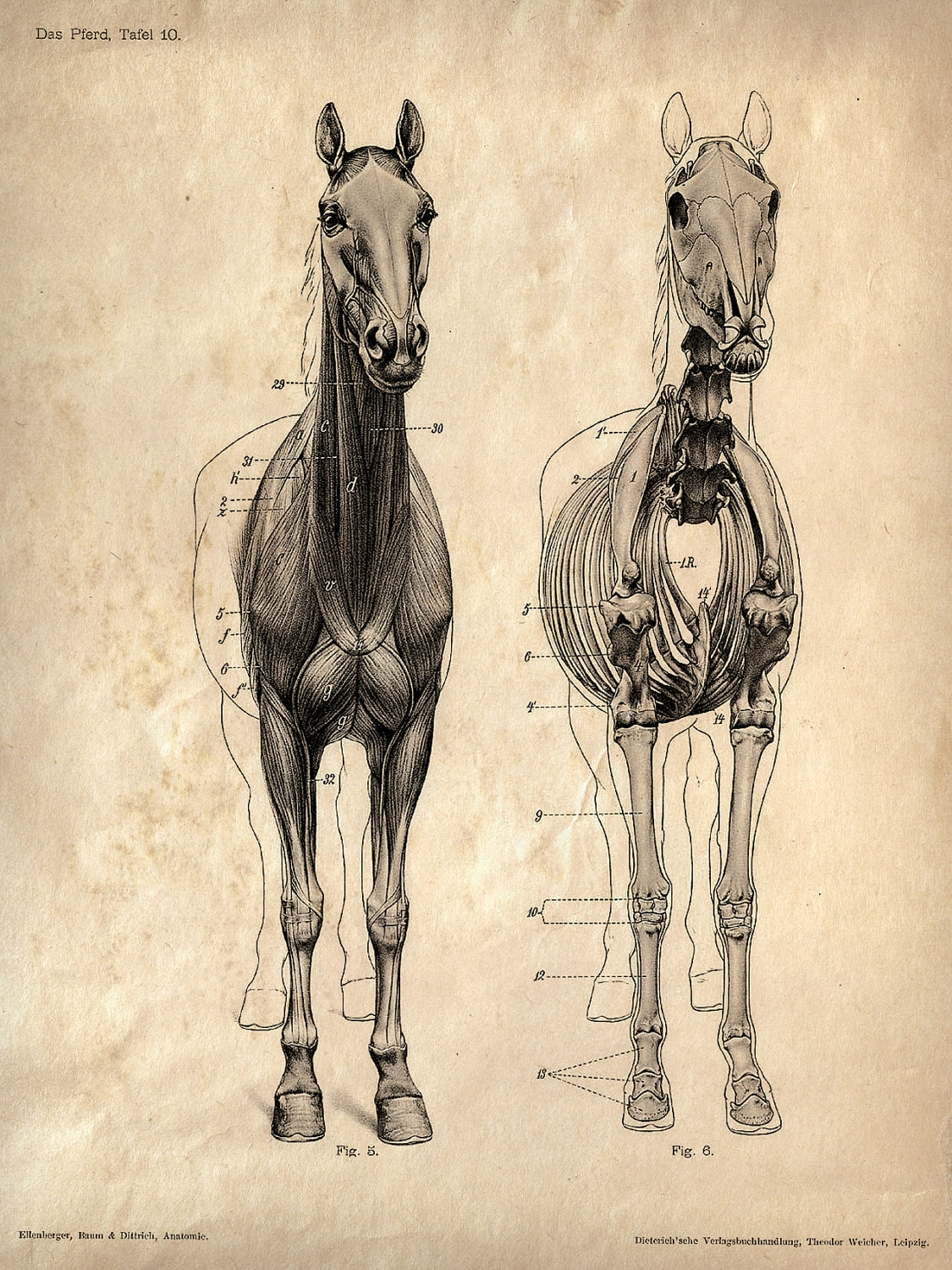 Vintage Science Animal Anatomy Study Poster. Horse Skeleton Biology ...