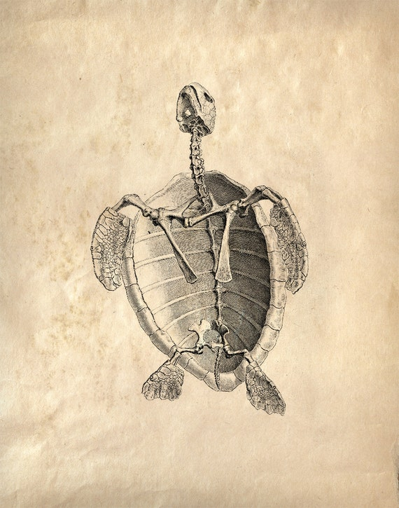 Alte Anatomie Diagramm Reproduktion Print. Meer Turlte Skelett | Etsy