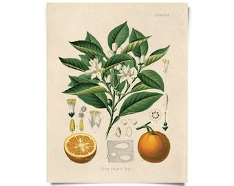 Vintage Botanical Citrus Orange Print w/ optional frame