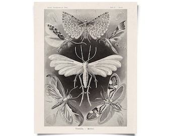 Vintage Haeckel Moth Insect Print w/ optional frame