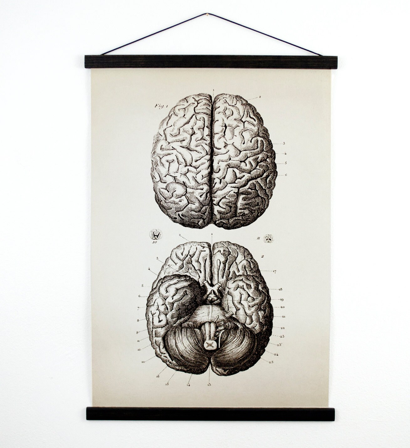 Anatomy Brains Pull Down Chart - Vintage Print Reproduction Canvas ...