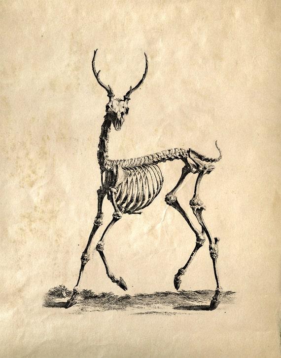 Estudio Vintage Anatomía Animal. Esqueleto de ciervo.   Etsy