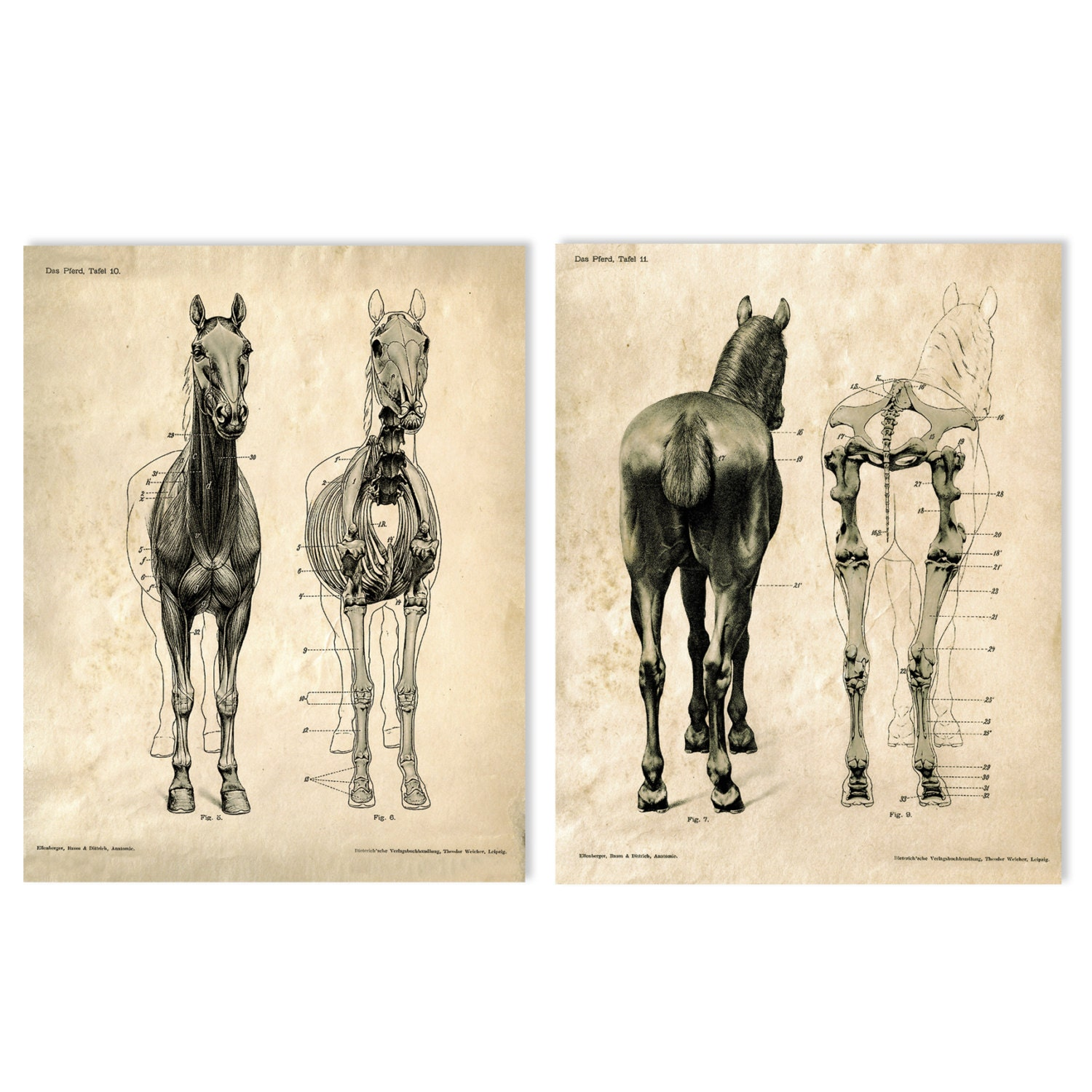 Horse anatomy Skeleton Prints - Two Matching Vintage Science Animal ...