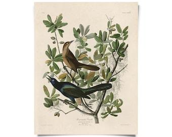 Vintage Natural History Bird Grackle Print with optional magnetic hanging frame