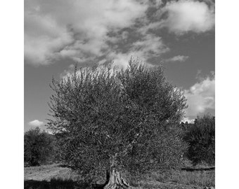Fine Art Black & White Photography of Old Olive Tree in Tuscany
