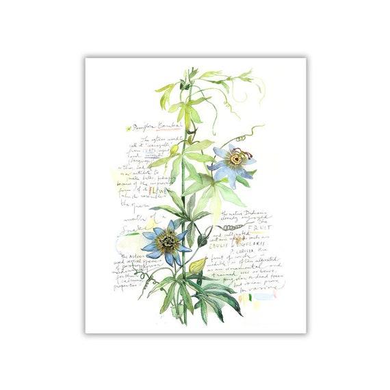 Passiflore Planche Botanique Illustration Fleur Aquarelle Etsy