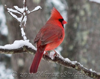 Cardinal (Male) - 5x7 red Photograph in winter 8x10  white mat for 5x7 photo - Landscape Orientation