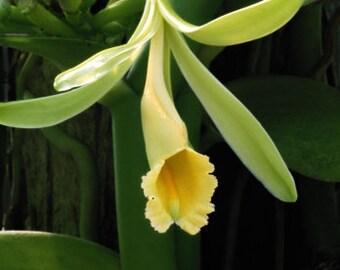 Orchid Vanilla Vine Plant Planifolia vanilla Live PLant