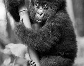 CUTE BABY GORILLA Photo, ...