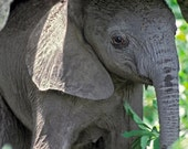 Cute Baby Elephant Photo ...