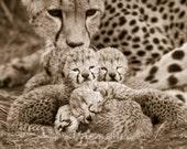 Baby Cheetah Sepia Photo,...