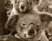 KOALA BABY and MOM Photo,...