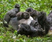 Animal Dads, Baby Gorilla...