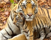 BABY TIGER and MOM Photo,...