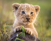 Lion Cub Photo, Baby Anim...