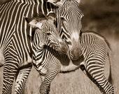 BABY ZEBRA and MOM Photo,...