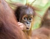CURIOUS BABY ORANGUTAN Ph...