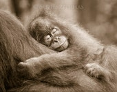 SLEEPY BABY ORANGUTAN Sep...