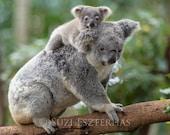 BABY KOALA and MOM Photo,...