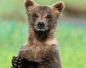 CUTE BABY BEAR Photo Prin...