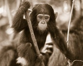 Baby Chimpanzee Photo, Ba...