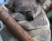 SLEEPY KOALA Photo, Koala...