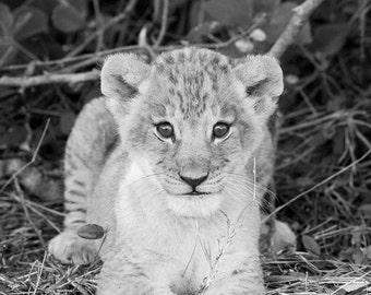 Baby Animal Black Lion