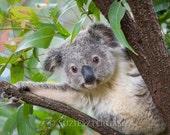 Cute Baby Koala Photo, Ko...
