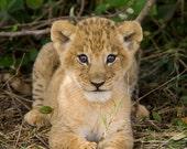 Baby Lion Animal Nursery ...