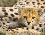Baby Cheetah Photo, Baby ...